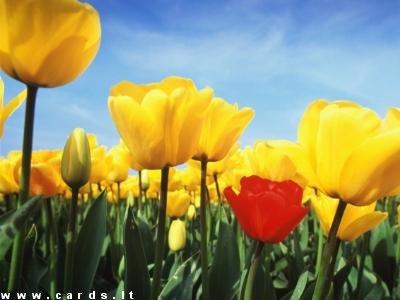 Tulpių pieva