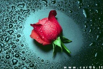 Rožė lietuje