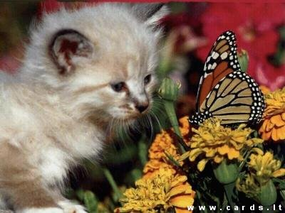 Kačiukas ir drugelis